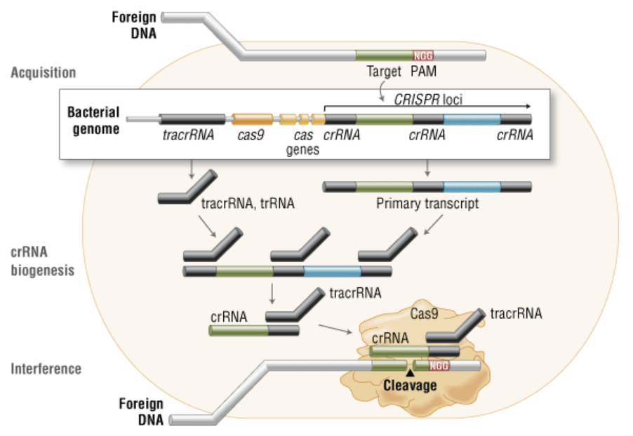 ایمنی اکتسابی باکتری (Cas9 in vivo)
