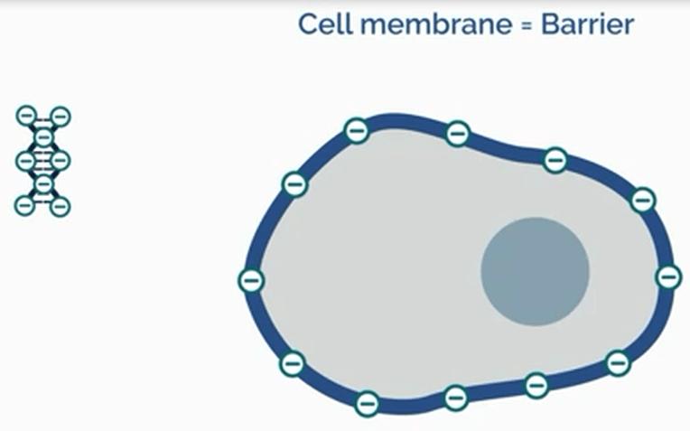 غشای سلول و DNA با بار منفی