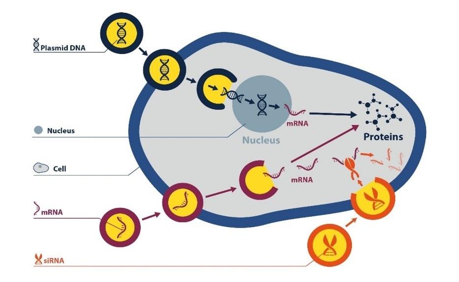 انتقال اسید نوکلئیک به داخل سیتوپلاسم و متعاقب آن به هسته سلول